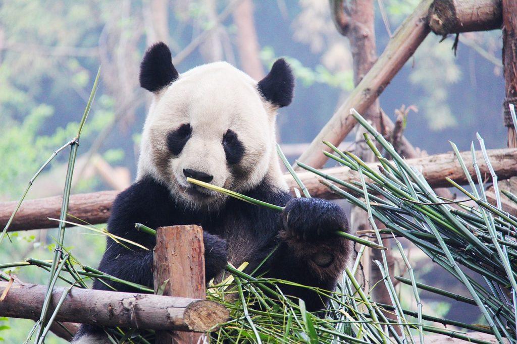 Panda - gradina zoologica Beijing