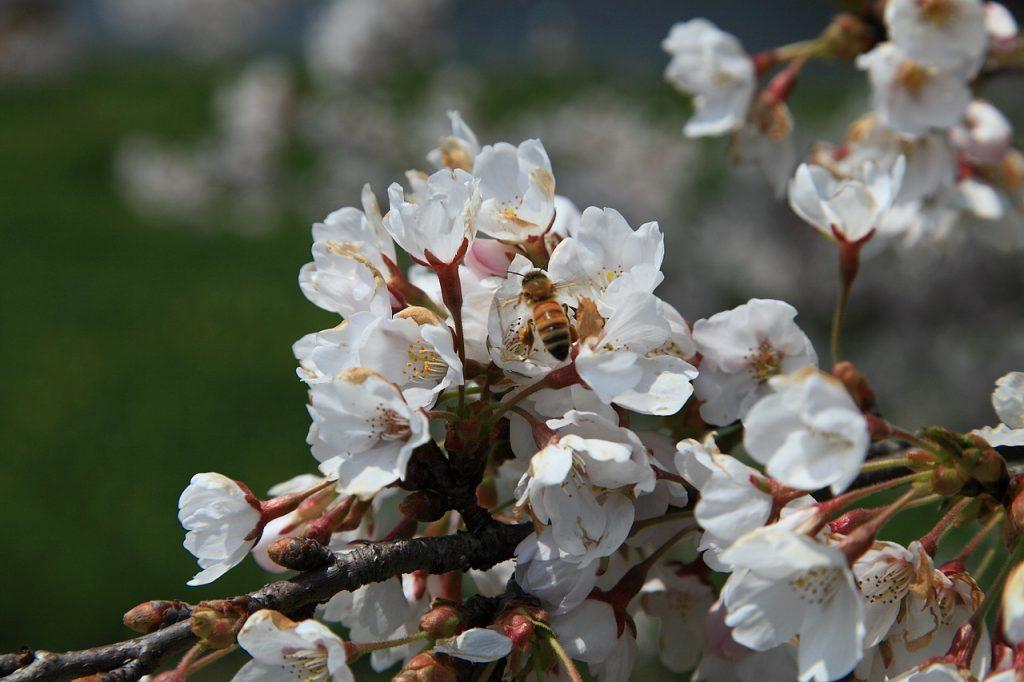 Albina pe flori de cires