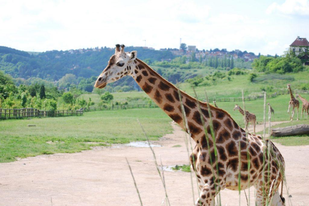 Gradina Zoologica Praga, girafa Rothschild,