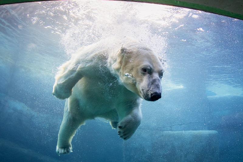 Urs polar in apa