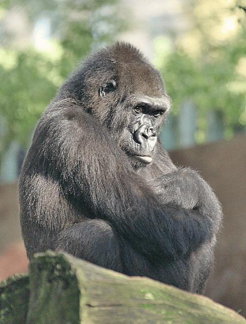 Gradina Zoologica Barcelona, cea mai mare primata din lume