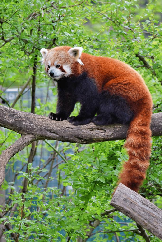 Gradina Zoologica ZSL Londra, panda rosu